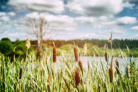 Cloudy landscape with bulrush