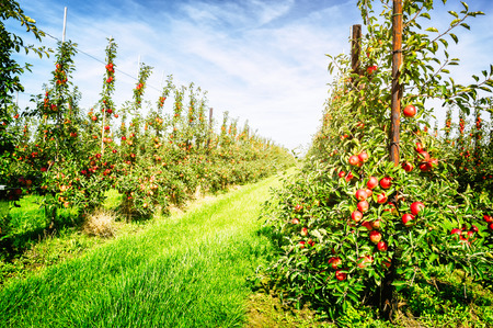 Apple orchard at sunny summer day