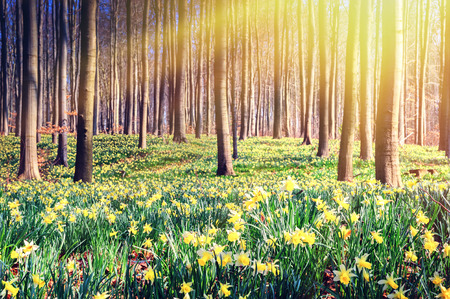 Spring forest covered by yellow daffodils. Scenery landscape