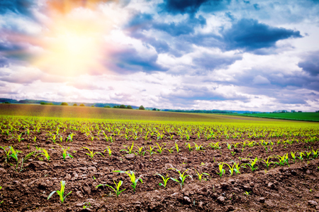 Agricultural field with corn sprouts at summer sunset