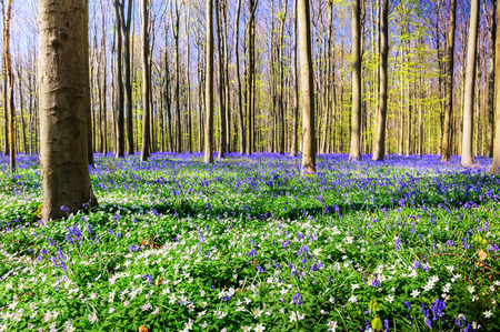 Photo pour Spring forest covered with bluebells and anemones flowers. Nature background - image libre de droit