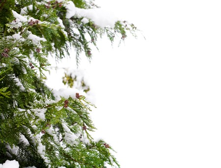 Conifer and snow, isolated against a white background with copy space