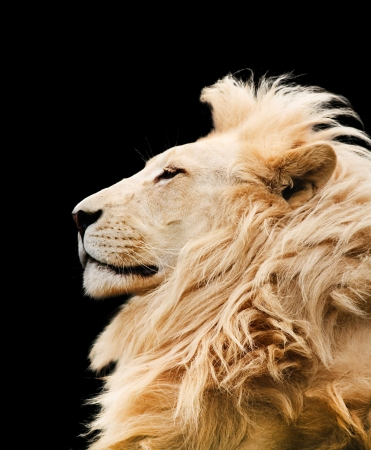 Photo for Lion - Royalty Free Image