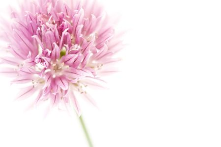 Chive flower isolated on white with copyspace to the right