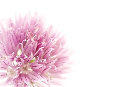 Closeup of pink allium flower with copyspace, ideal for a floral background or template
