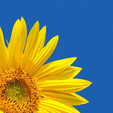 Sunflower template with sunflower in the corner with lots of blue sky. The blue is a solid colour, easily extended.