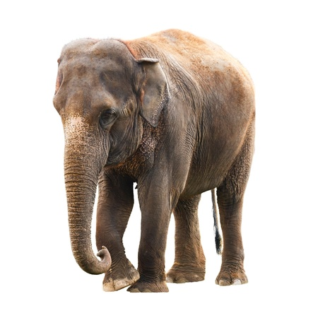 Elephant isolated against a white background with clipping path