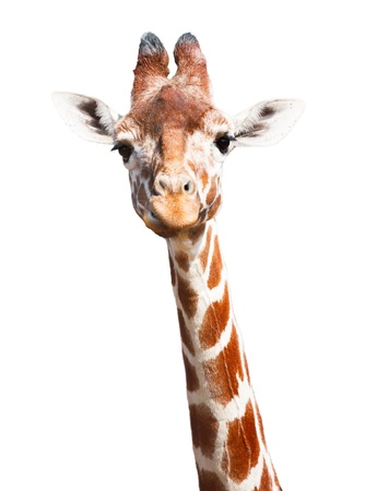 Giraffe head and neck isolated against a white background