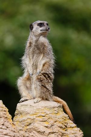 Meerkat (suricata suricatta) sentry stands upright on a rock keeping watch