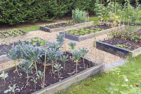 Photo for Vegetable garden raised beds made from timber sleepers. Kale (brassica) is  growing in the foreground, UK - Royalty Free Image