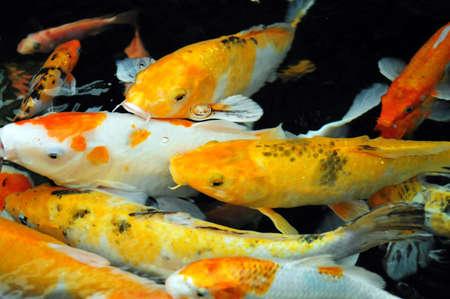 Asian carp (Koi Fish) swim in water pond