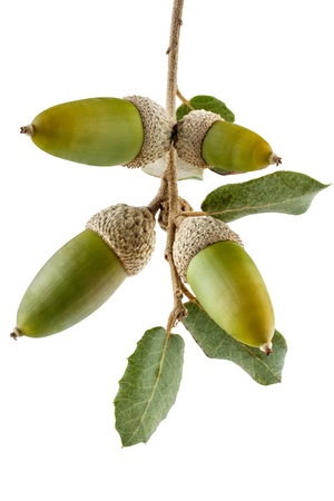 Holm oak branch with acorns Quercus Ilex species from Mediterranean area isolated on white background