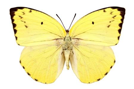 Butterfly species Catopsilia pomona pomona