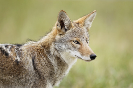 An eastern coyote head shot.