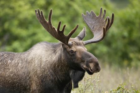 Foto de A bull moose in velvet. - Imagen libre de derechos