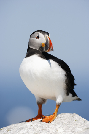 An Atlantic or common puffin