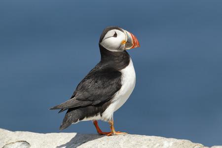 Photo pour An Atlantic or common puffin - image libre de droit