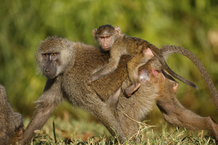 An olive baboon getting a piggyback ride