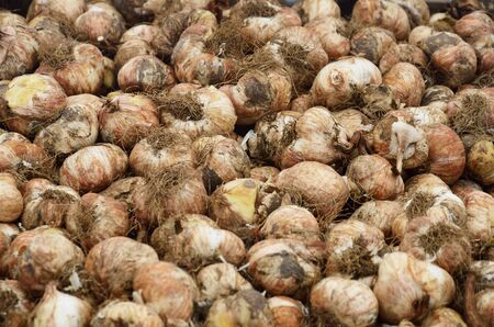 Large group of flower bulbs