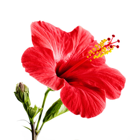 Photo for Hibiscus red flower on a white background isolated - Royalty Free Image