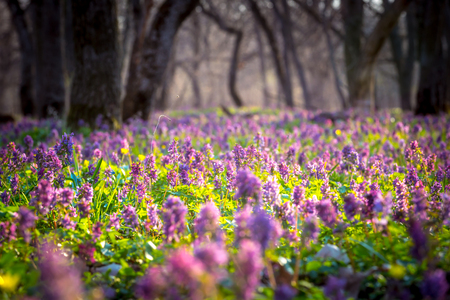 Photo pour Nice flower meadow in forest in spring time - image libre de droit