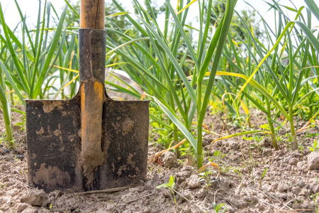 shovel in the ground in the vegetable garden, on a background of green onions