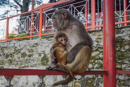 Photo pour Monkey mom with a little cub. India - image libre de droit