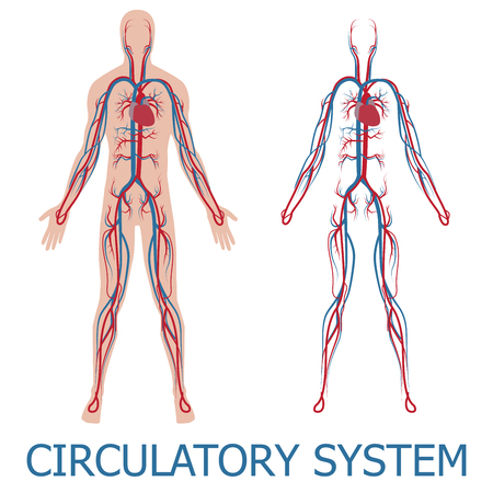 Illustration pour human circulatory system. illustration of blood circulation in human body - image libre de droit