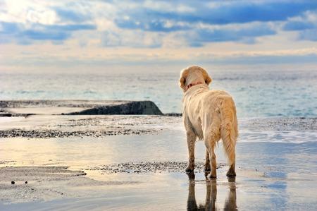 Photo pour young white golden retriever  owner waiting on the seafront - image libre de droit
