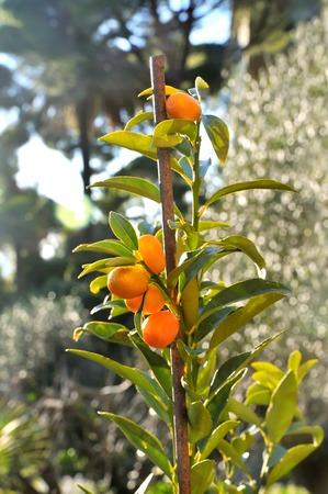 small Kumquat tree with orange fresh fruits