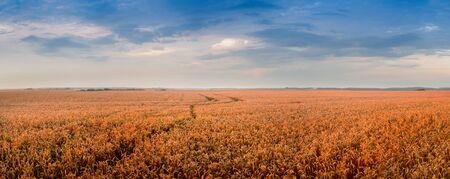 Foto für Golden wheat landscape at evening time - Lizenzfreies Bild