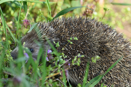 portrait of hedgehog in the field grass