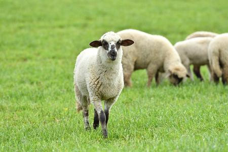 Foto de domestic sheep walks on a meadow and eats grass - Imagen libre de derechos