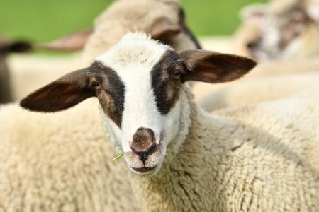 Foto de close-up of a sheep's head  on the farm meadow - Imagen libre de derechos