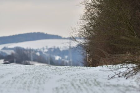 Photo pour Roe deer coming out of the woods for pasture in winter snow - image libre de droit