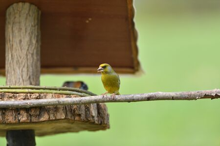 Photo pour The european grenfinch sitting and eating sunflower and seeds on the feeder rack - image libre de droit