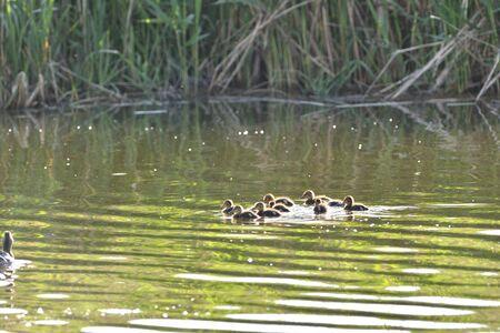 Foto de Flock of small duck babies floating on the pond - Imagen libre de derechos