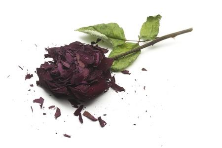 single dry broken rose isolated on white background