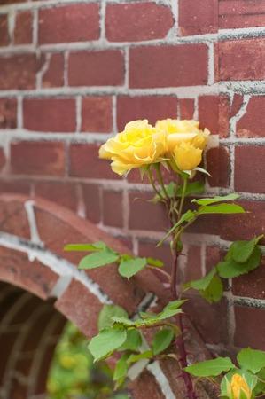 Brick and yellow roses