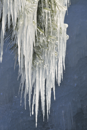 Icicle arrived at the twig
