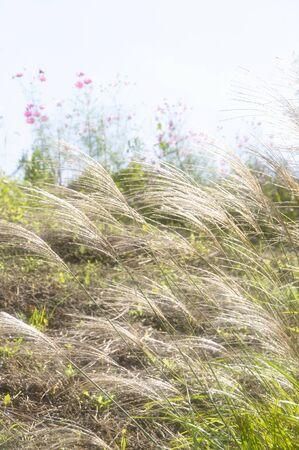 Japanese pampas grass