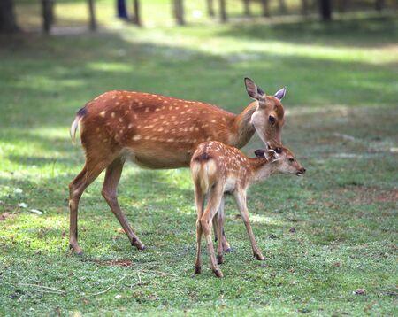 Parent-child deer