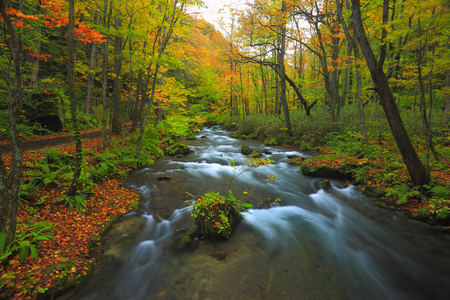 Oirase mountain stream of autumn leaves