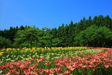 Ichihasama Lily Garden