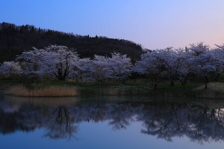 Cherry blossoms in the morning glowの素材 [FY310148622911]