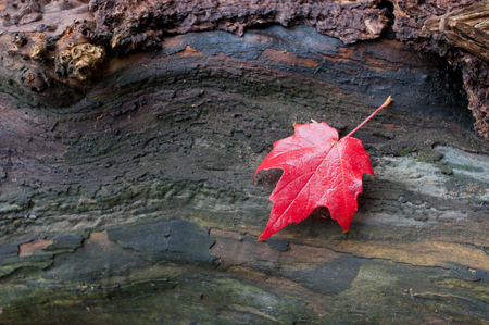 Autumn red maple leaf on a piece of wood