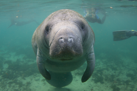 Endangered Florida Manatee Underwater with Snorkelers in Background