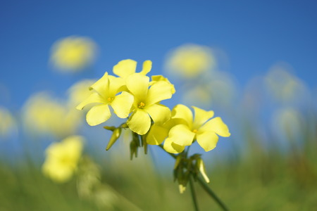 oxalis pes-caprae flowers