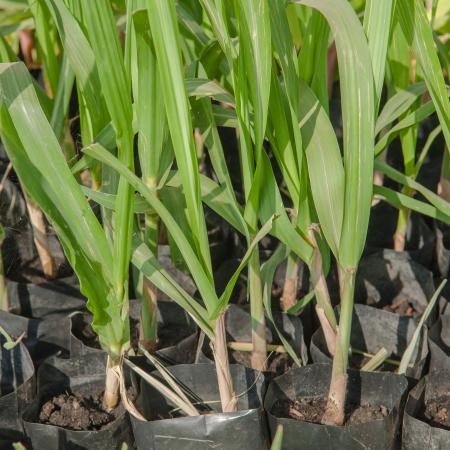 Tissue culture of sugarcane