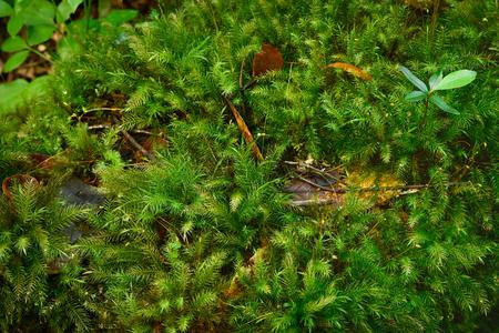Beautiful green moss in nature